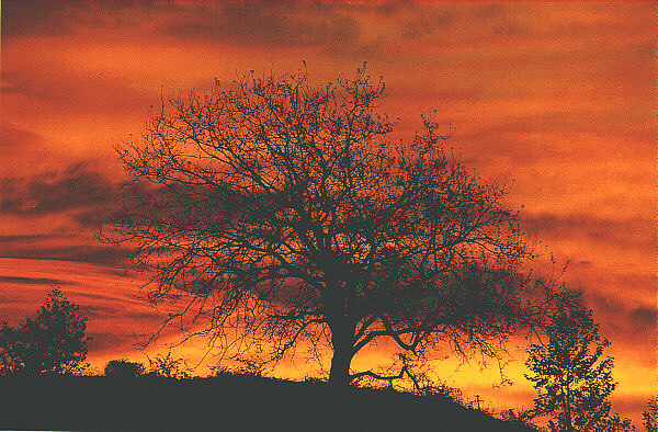 'Tree at Sunset' by Richard Rioux